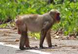 Stump-tailed Macaque