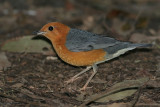 Orange-headed Thrush, male