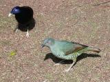 Satin Bowerbirds
