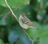 Yellow-browed Leaf Warbler