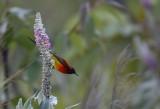 Mrs Gould's Sunbird, male