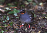 Rufous-throated Partridge