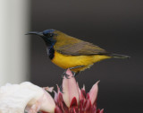 Olive-backed Sunbird, male