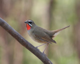 Siberian Ruby-throat