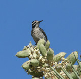 Ladder-backed Woodpecker, female