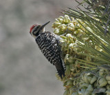 Ladder-backed Woodpecker, male