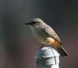 Vermilion Flycatcher, fem