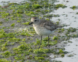 Black-bellied Plover (Grey Plover)