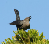 Brewer's Blackbird, fem