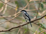 Bar-winged Flycatcher -Shrike