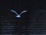 Gull Over Icey Waters