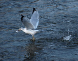 Nice Catch Mr Seagull