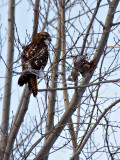 Beautiful Young Red-Tail Hawk 2.jpg