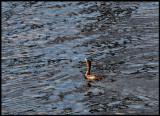 Cormerant in Great River Patterns.jpg