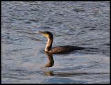 Cormerant in Icey Waters.jpg