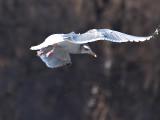 Seagull in Flight 9_filtered.jpg