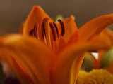 Orange Llily_F.jpg