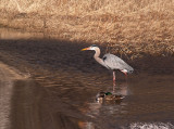 Great Blue Heron in Flood Water 2.jpg