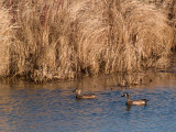 Blue Winged Teal Pair rp.jpg