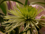 Green Flower from the Bouquet I Bought Myself LOL