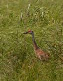 Male Sandhill Crane 2.jpg