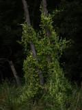 Vines on Dead Trees.jpg
