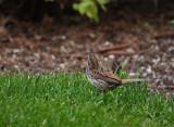 Cute Sparrow in the Yard.jpg