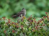 Sparrow on the Hedge.jpg