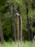 Eastern Kingbird on Meadow Weeds.jpg