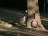 Goose Pair and Gosling.jpg