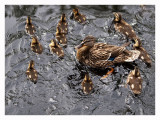 Momma Mallard and Ducklings.jpg