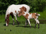 Pinto Mare and Colt rp.jpg