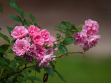 Tea Rose Bush Flowers
