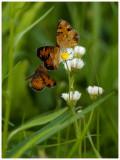 Trio of Butterflies