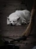 White Dog on Walk
