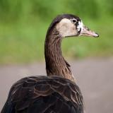 Canada Goose Unusual.jpg