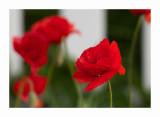Poppy n White Fence.jpg