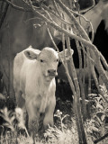 Little White Calf.jpg