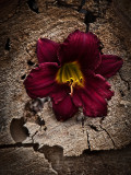 Deep Red Lily in Wood.jpg
