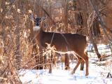 Sunlit Deer