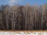 Stand of Birch