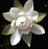 Water Lily With a Friend