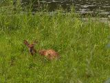 Little Fawn on the Island