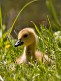Little Gosling 1 Day Old.jpg