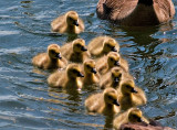 Goslings Everywhere_6.jpg