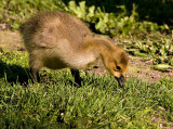 Goslings Are Too Cute_1.jpg
