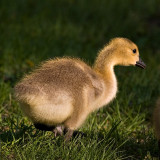 Goslings Are Too Cute_2.jpg