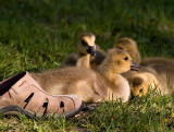 Goslings Are Too Cute_7.jpg
