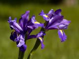 Iris Pair_1.jpg