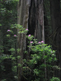 California Redwoods & Misc Northern California - June 2009
